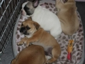 Pups2012-week8-11